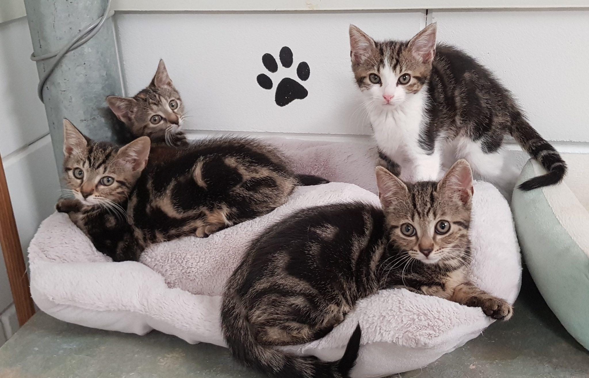 4x kittens carin